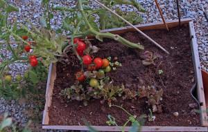 Un pied de tomate couché par le vent
