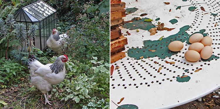 Poules Sussex et œufs de poule