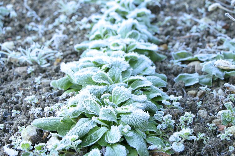 La mâche, salade d'hiver