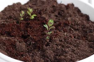 Un sol riche pour la menthe