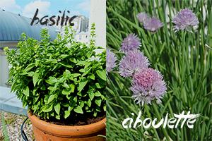 fleurs-comestibles-basilic-ciboulette