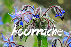 fleurs-comestibles-bourrache