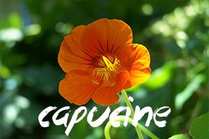 fleurs-comestibles-capucine