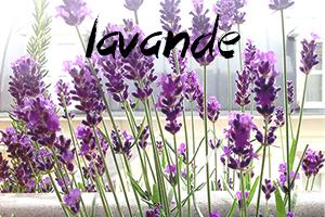 fleurs-comestibles-lavande