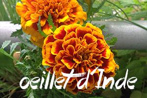 fleurs-comestibles-oeillet-inde