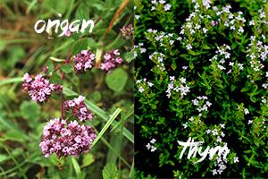 fleurs-comestibles-origan-thym