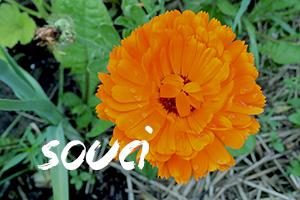 fleurs-comestibles-souci