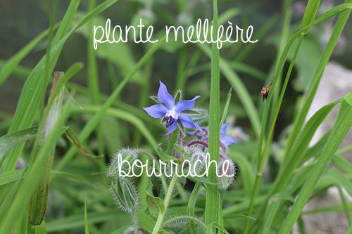jardin-maraicher-permaculture-plante-melliferes