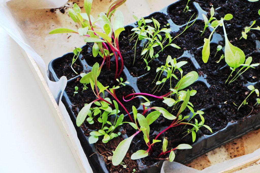 semis de betterave et herbes aromatiques dans des plaques alveolaires
